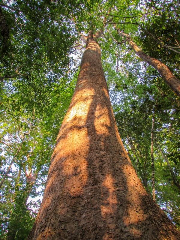 Cambodia- forest