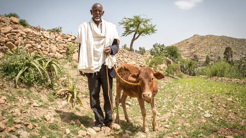CAFOD Ethiopia Food Crisis appeal - Baraki with cow