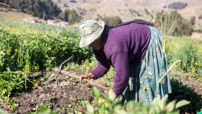 Nicanora harvests potatoes in the Altiplano, Bolivia