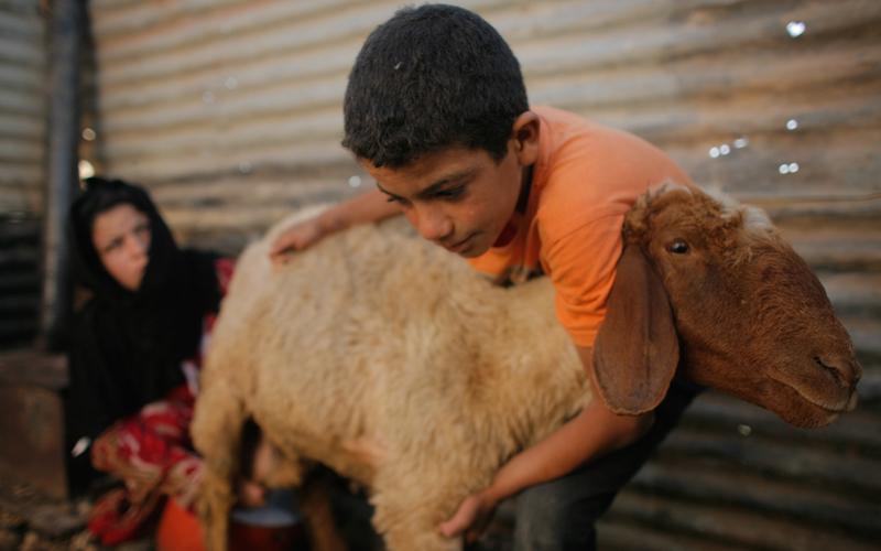 CAFOD goat in Lebanon