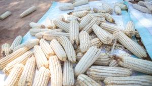 Maize grown in Zambia