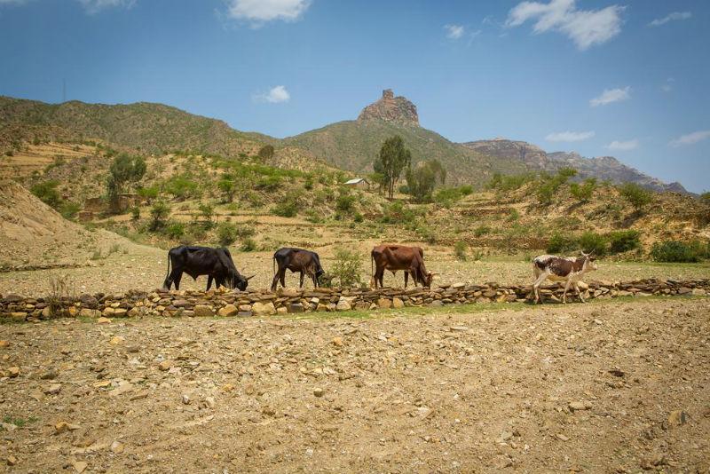 Cows in desert
