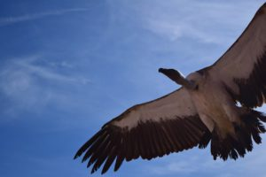 A vulture in flight photographed from below by Jeremy Cain