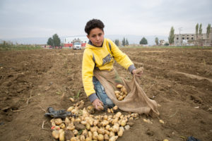 Karim picking potatoes.