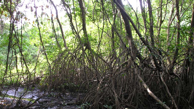 Above-ground roots of mangrove trees in sunlight